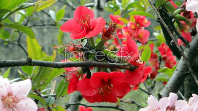 HD red Begonia flowers pictures