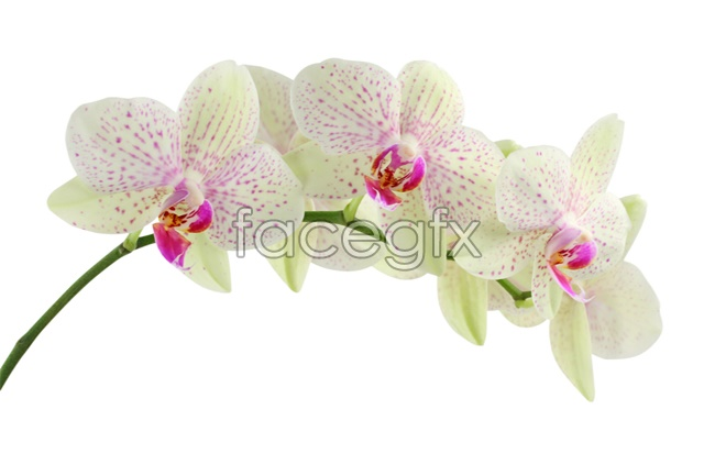 Orchid picture material