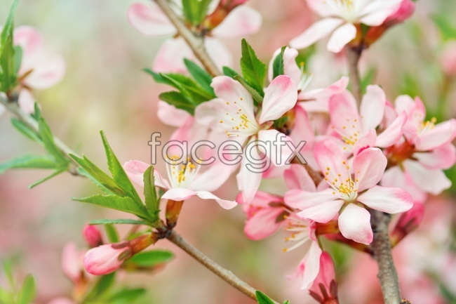 Pink peach blossom pictures
