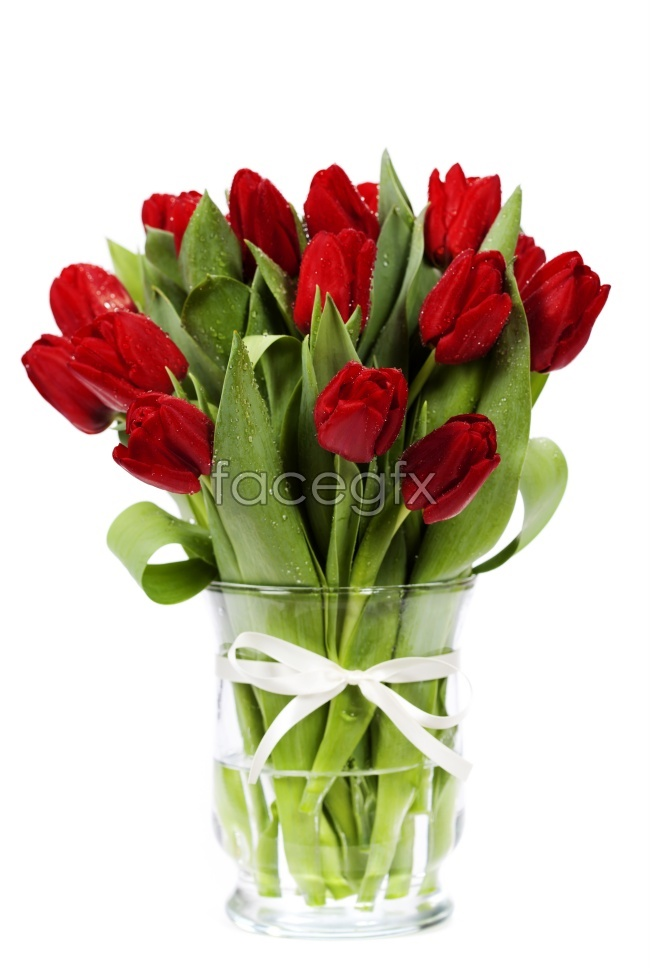 Red Tulip flower pictures