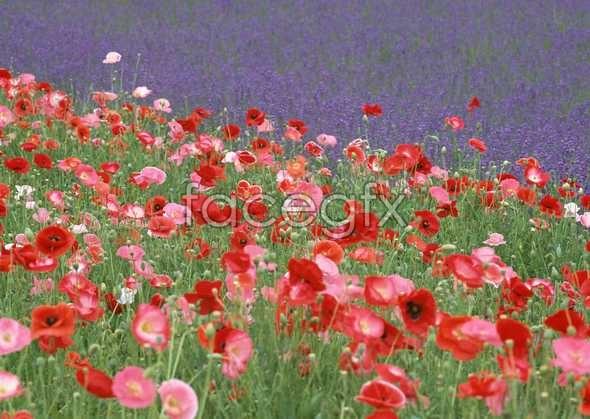 Thousand flower 83