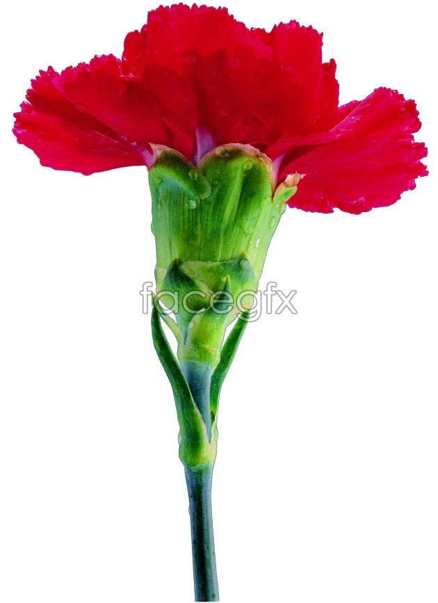 A bouquet of Carnation picture
