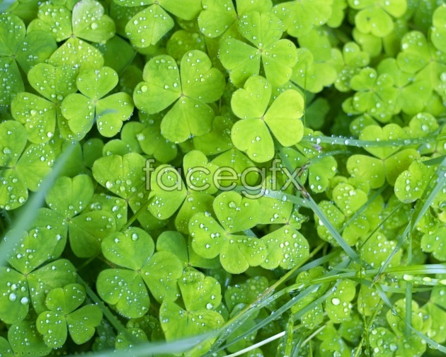 Four leaf clover pictures