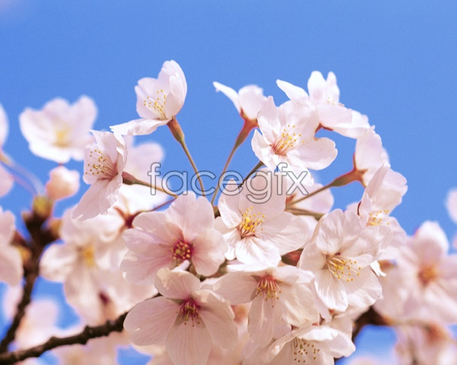 Peach blossom in full bloom pictures