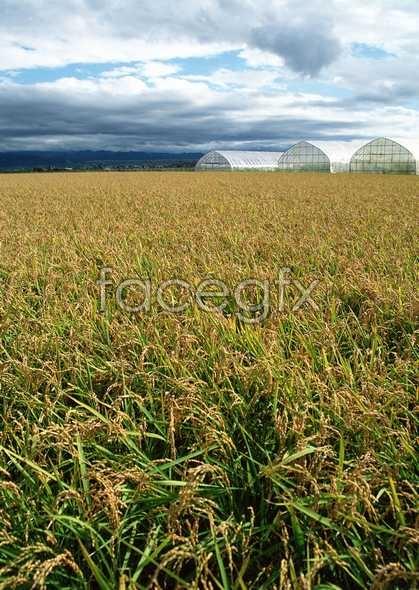Rural pastoral 262