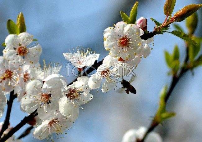 Spring apricot pictures