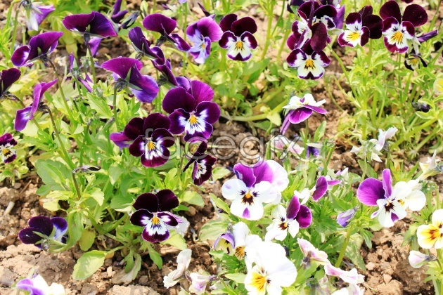 HD Pansy pictures