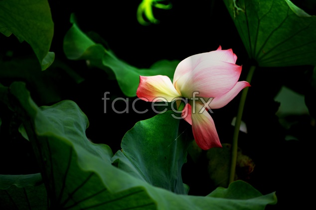 Lotus pond picture material