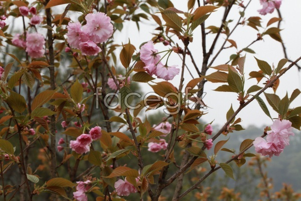 HD camellias in full bloom pictures