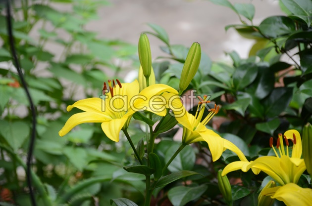 HD Lily picture