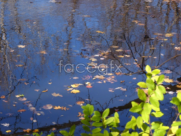 Pond leaf picture
