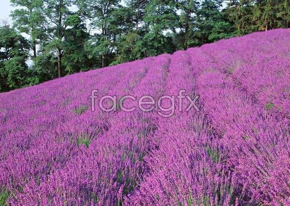 Thousand flower 71