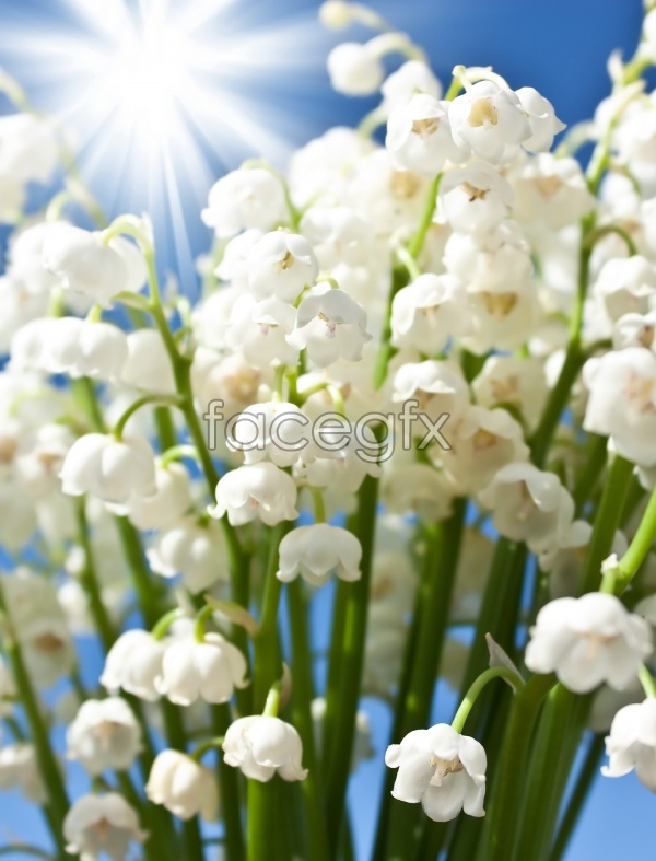 HD flower material picture