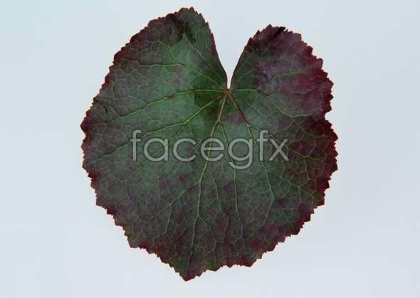 Purple round leaf