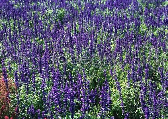 Thousand flower 613