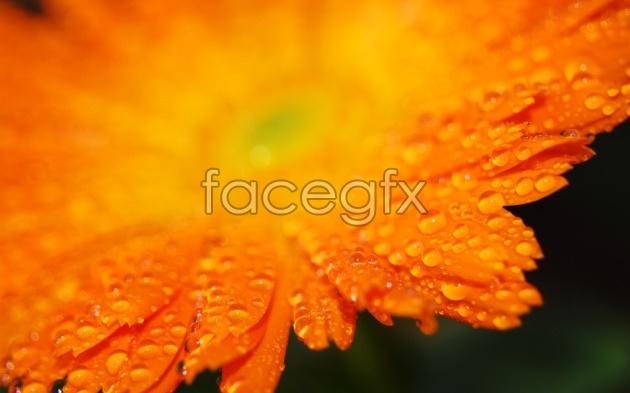 Autumn Chrysanthemum picture
