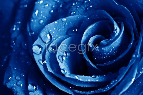 Blue animated rose pictures