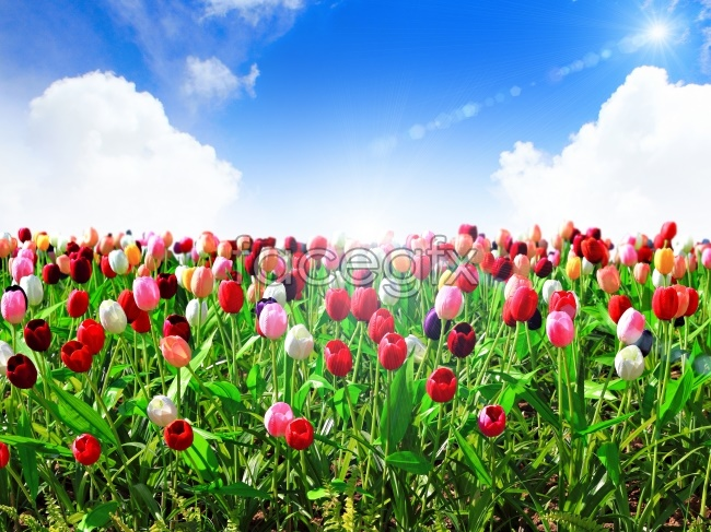 Romantic Tulip flower pictures