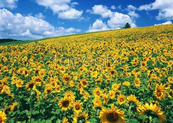 Thousand flower 629