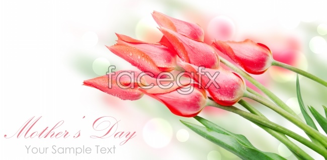 Beautiful tulips HD picture