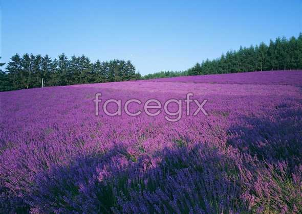 Thousand flower 617