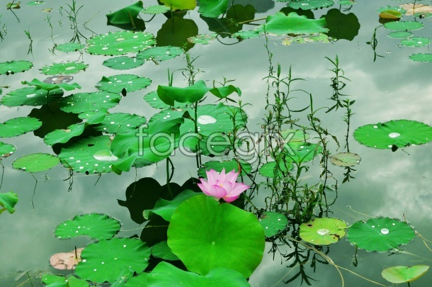 HD beautiful Lotus pictures