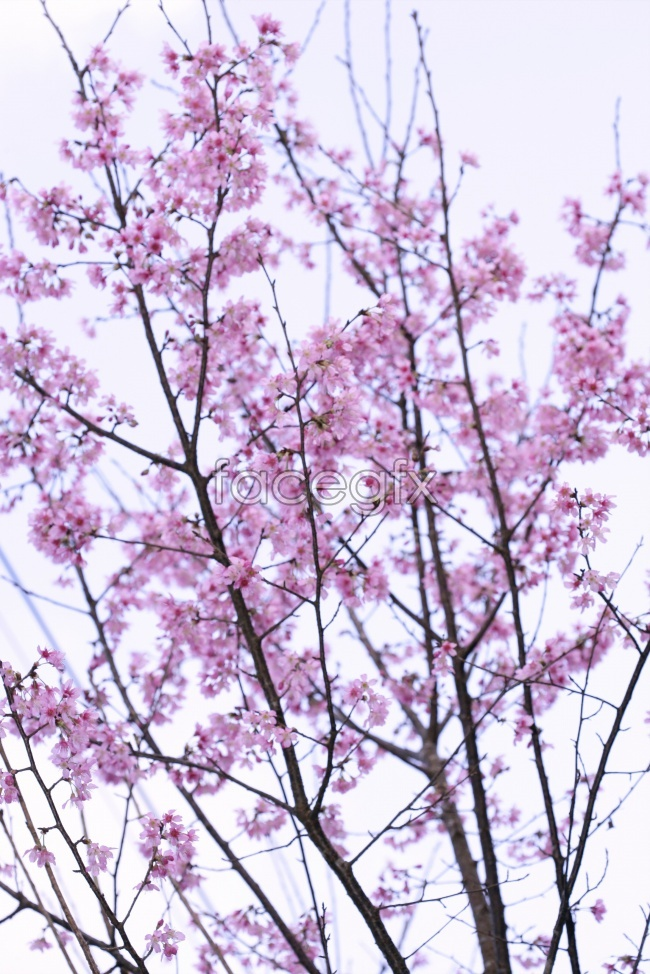 Japan cherry blossom pictures