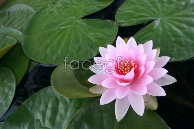 Lotus pink water lily against the picture material