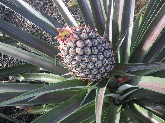Pineapple tree high definition pictures