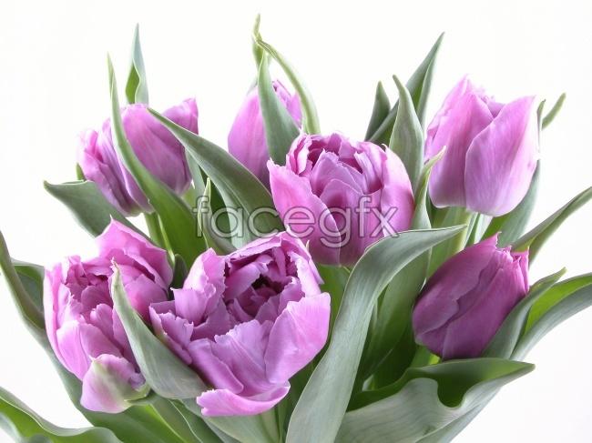 Purple Tulip HD picture