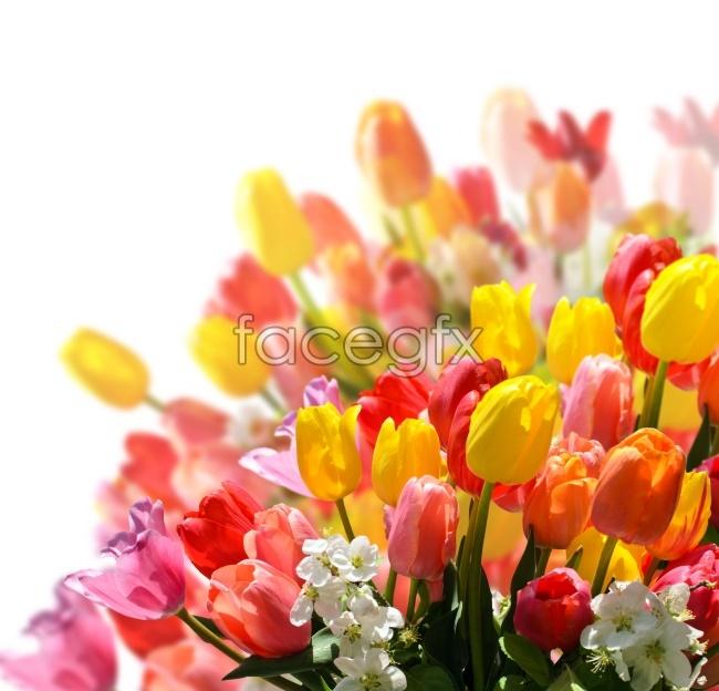 Tulip pho