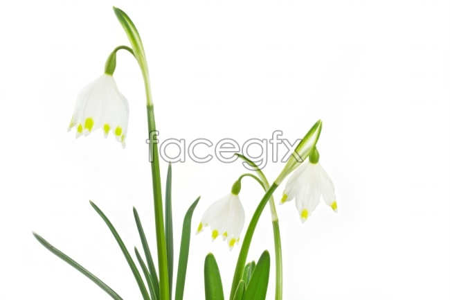 White Bell Orchid pictures