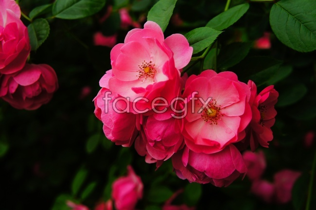 Beautiful rose HD pictures