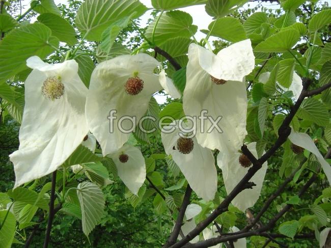 Picture davidia involucrata flowers HD