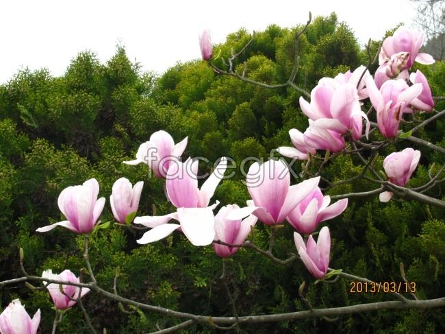 Pink Magnolia pictures