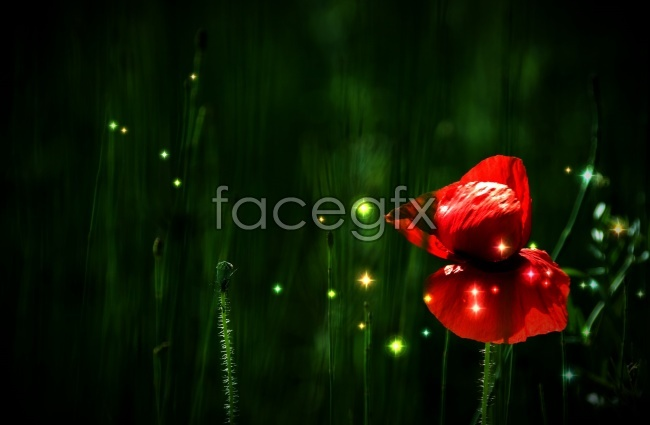 Red poppy flower pictures
