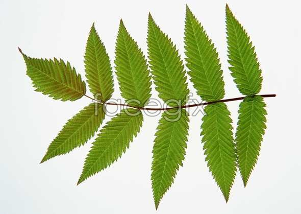 Toothed leaves