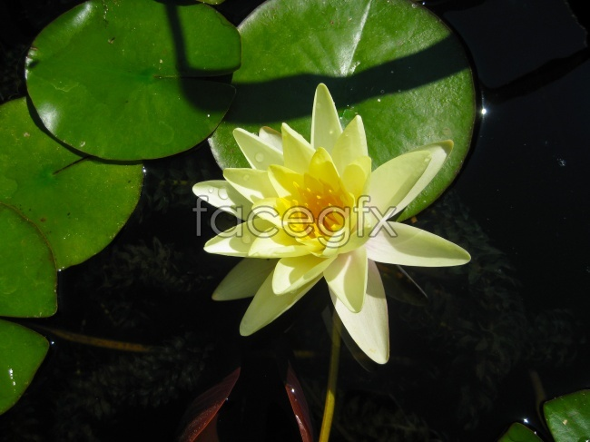 Yellow Lotus HD picture material