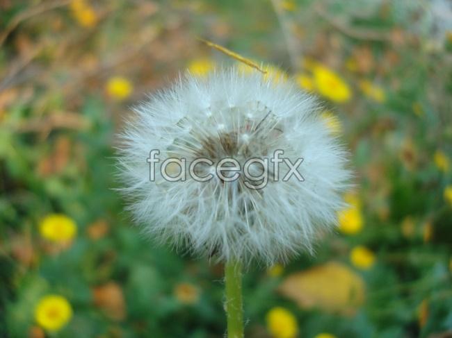 Dandelion high definition pictures
