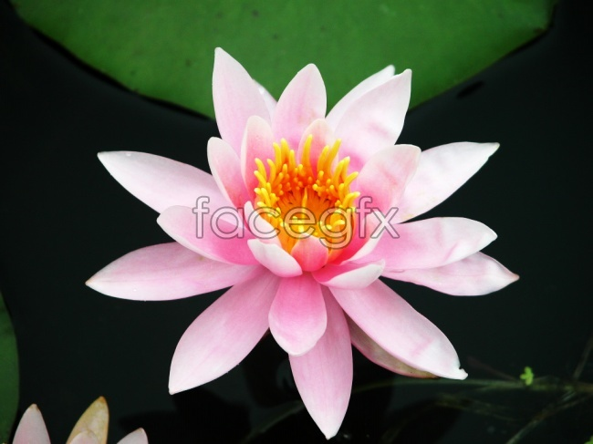 Pink Lotus HD pictures