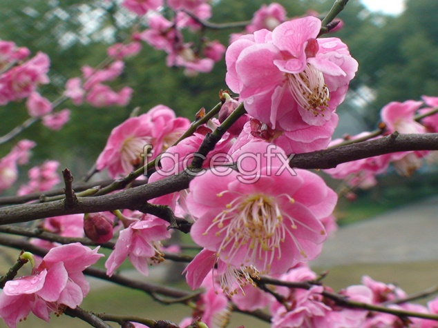 Plum blossoms blooming footage pictures