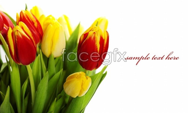 Red Tulip card picture