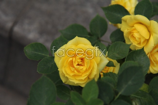 Yellow rose flowers HD pictures