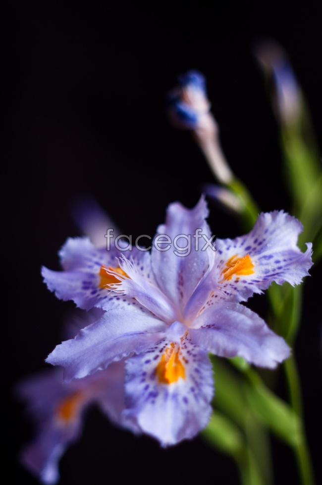 HD purple IRIS pictures