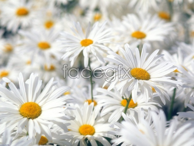 HD white chrysanthemums pictures