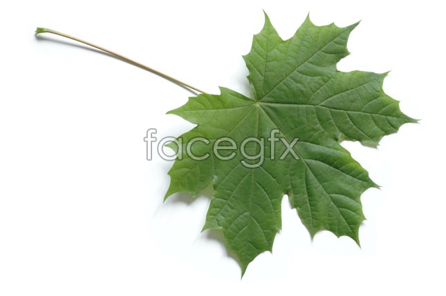 Leaf pictures