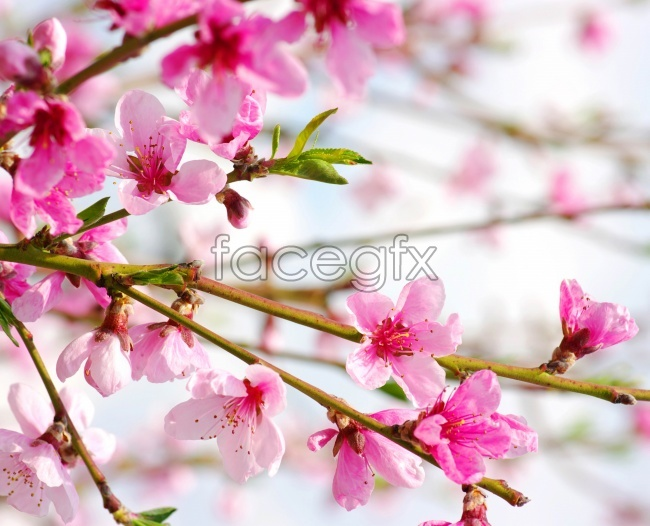 Plum blossom flower pictures