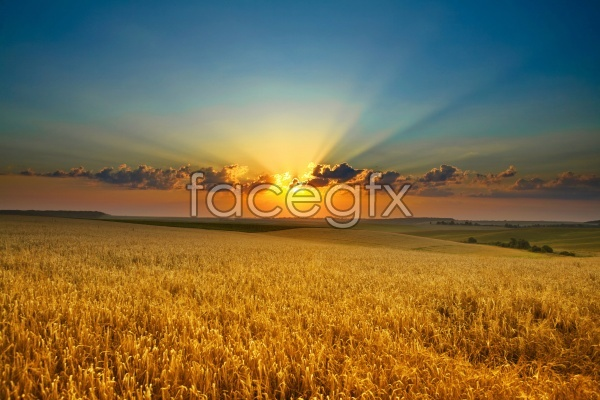 Rice field scenery picture material