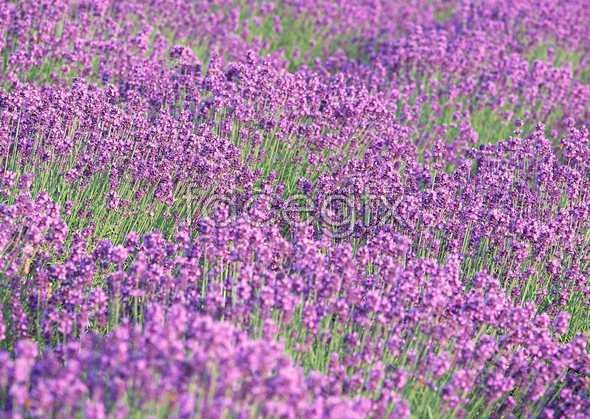 Thousand flower 72