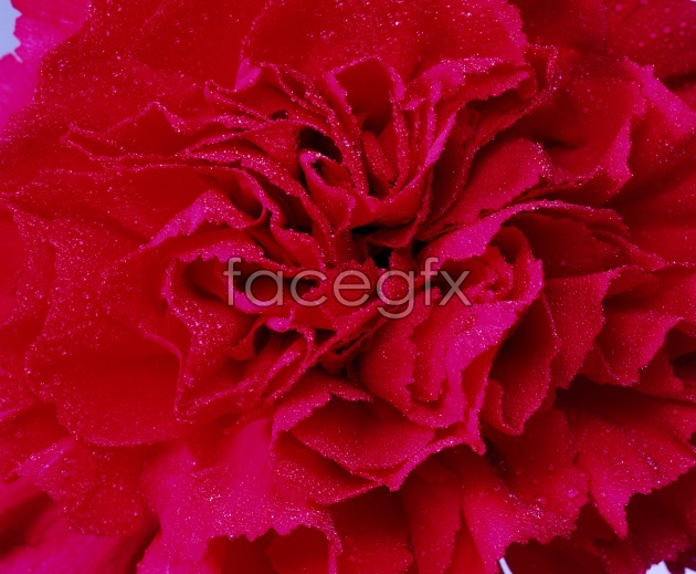 HD red Carnation pictures